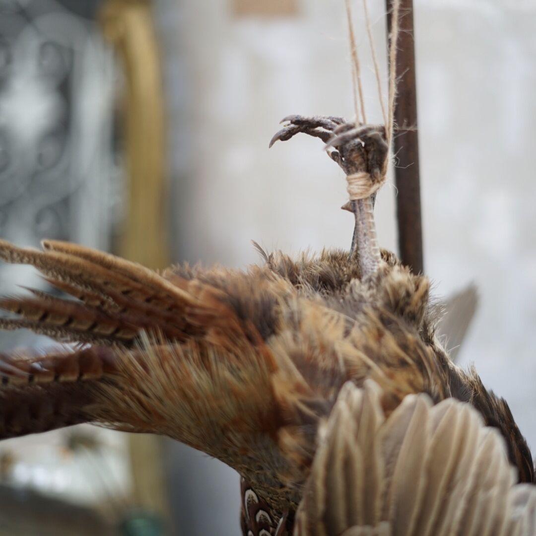 hanging pheasant1