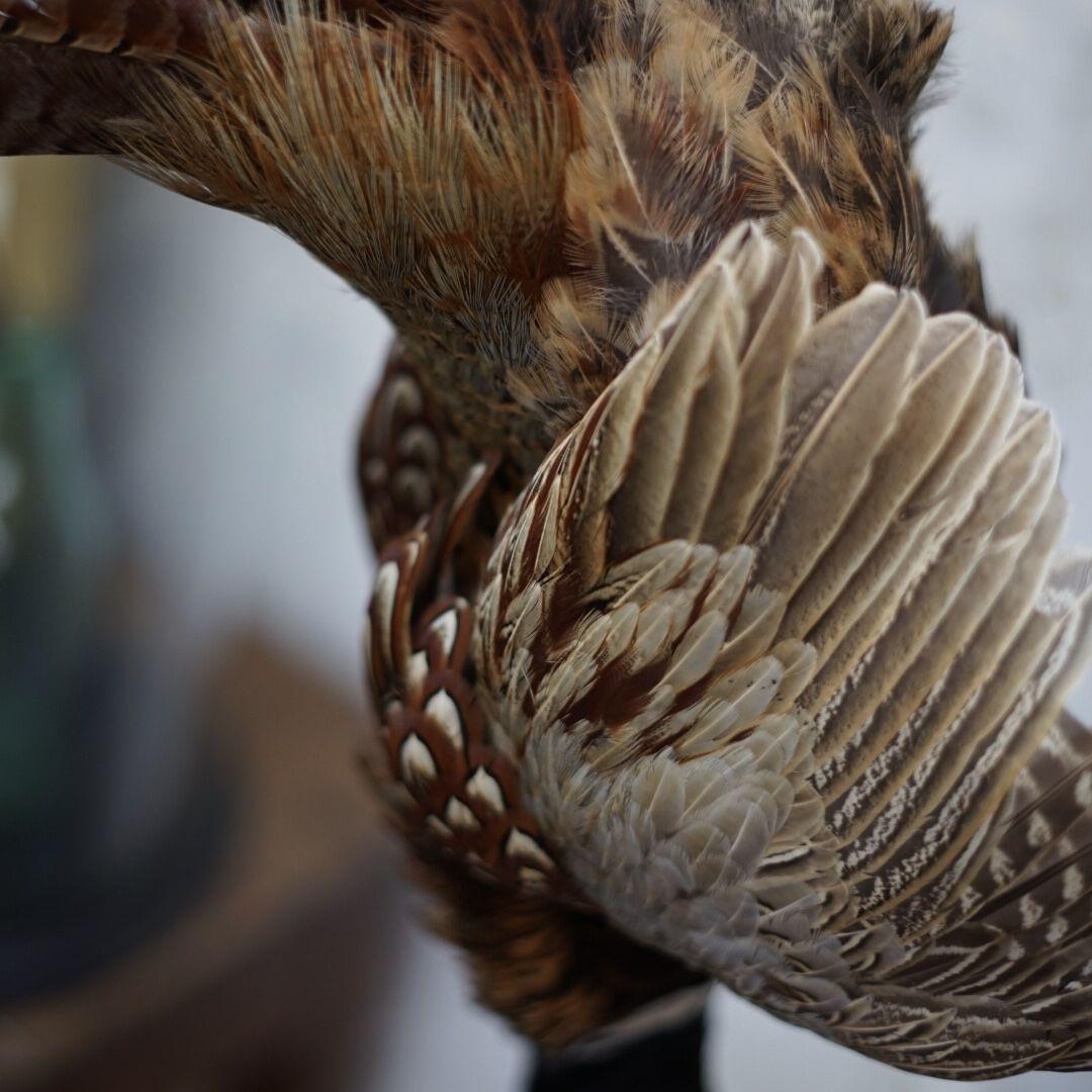 hanging pheasant2