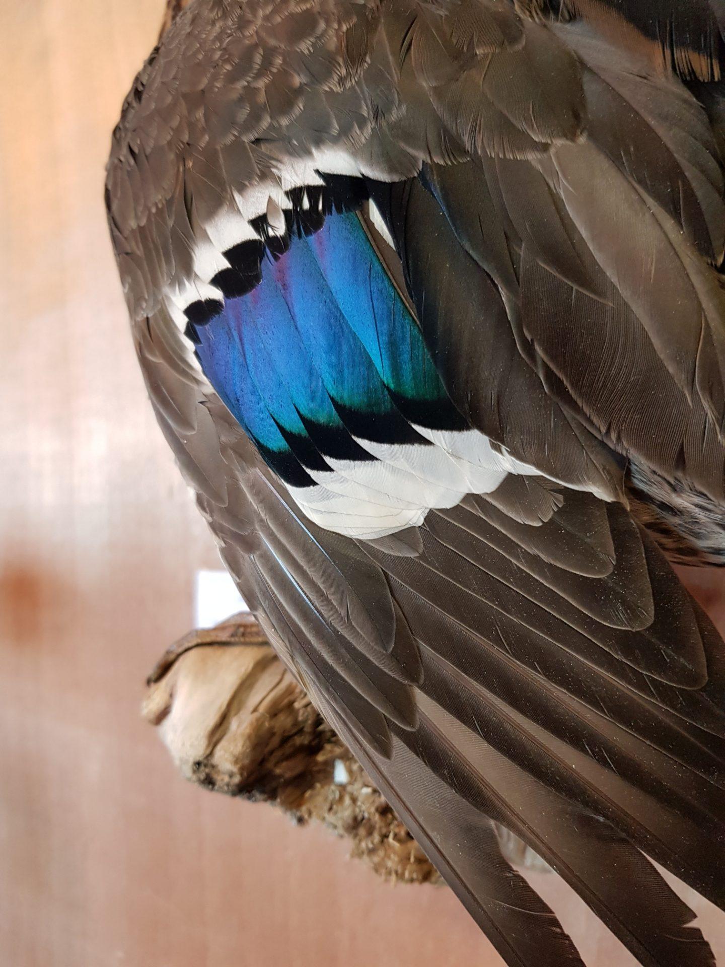 mallard mounted feathers