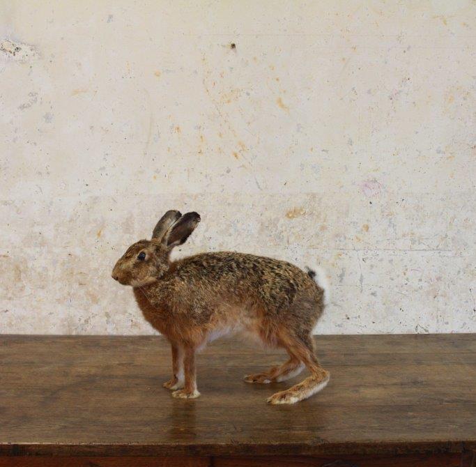 hare1-4